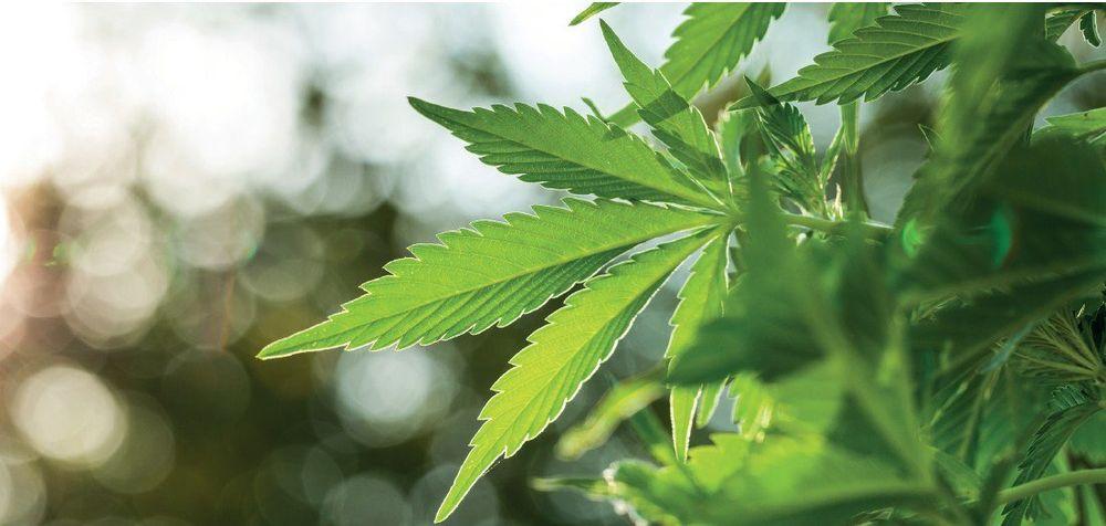 Био марихуана могут ли лишить прав за употребление марихуаны